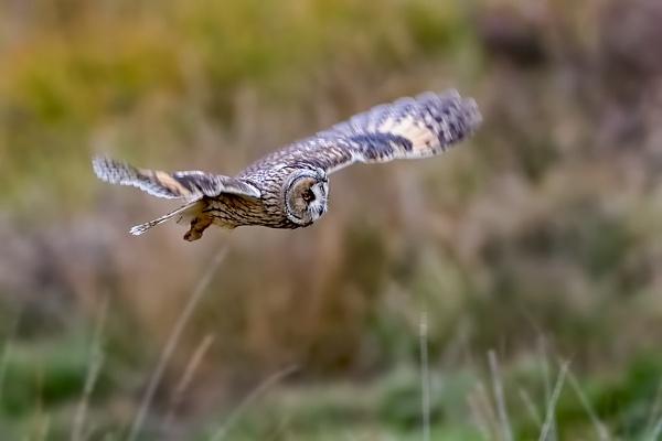 Long-eared Owl (Asio otus) by DerekL