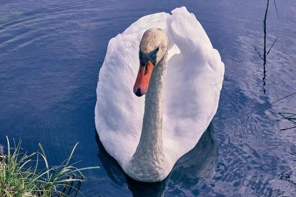 Mute Swan by LotaLota
