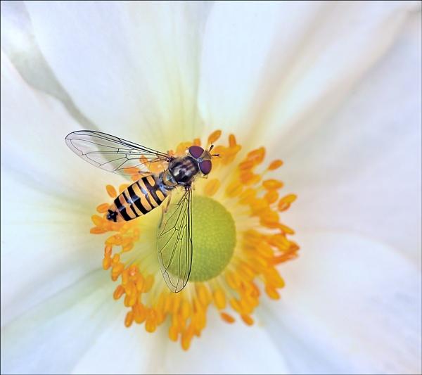 Marmalade on Anemone. by bricurtis