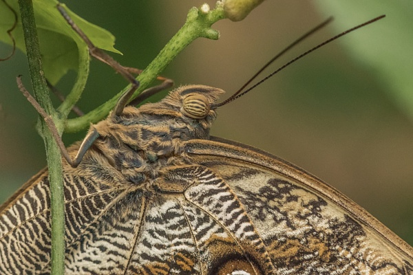 Owl Butterfly Close Up by DBoardman
