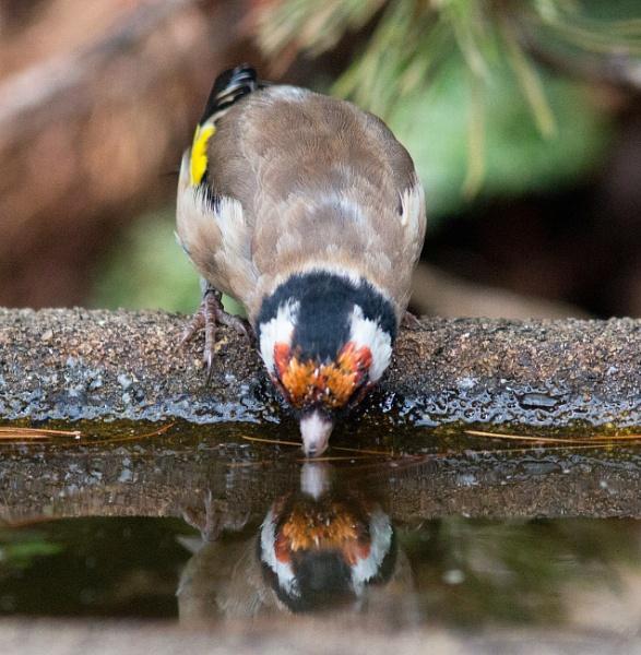 Thirsty goldfinch by oldgreyheron