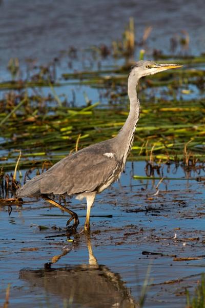 Grey heron by oldgreyheron