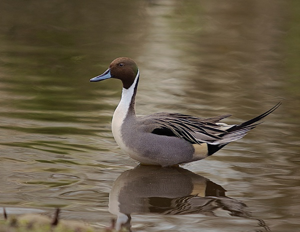 Pintail Duck by Granddad