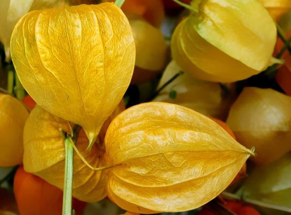 Yellow Lanterns by helenlinda