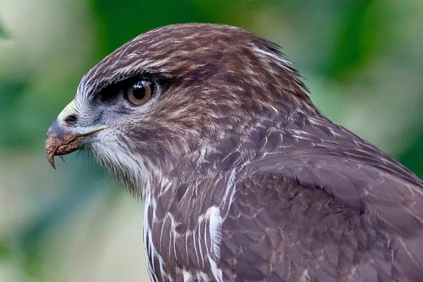 Majestic Buzzard. by cheddar-caveman
