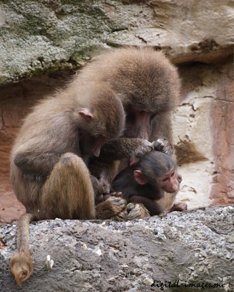 Baboon Family by Alan_Baseley