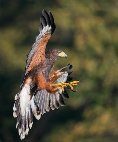 Harris Hawk Landing by jasonrwl