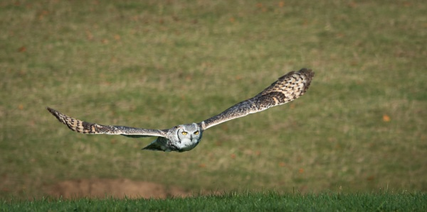 Great Horned Owl by jasonrwl