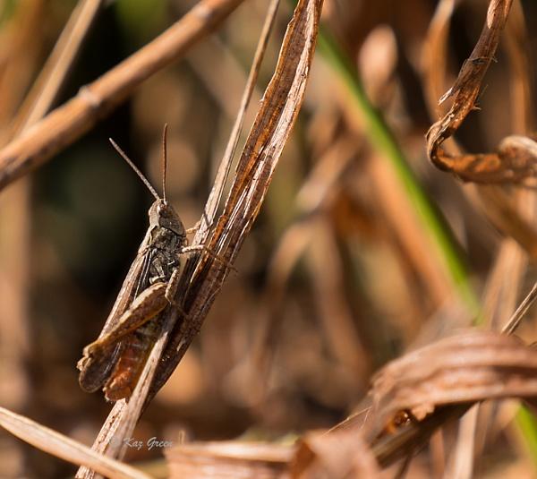 Grasshopper by kaz1