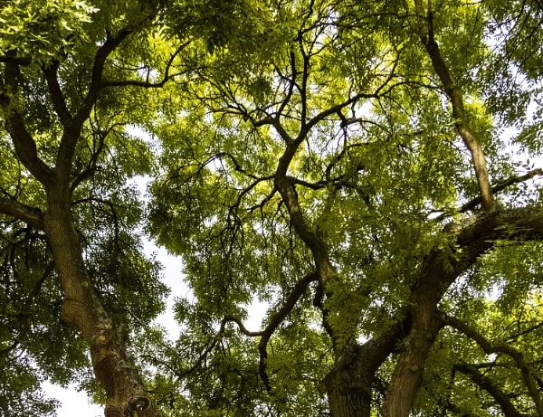 tree canopy by derekp