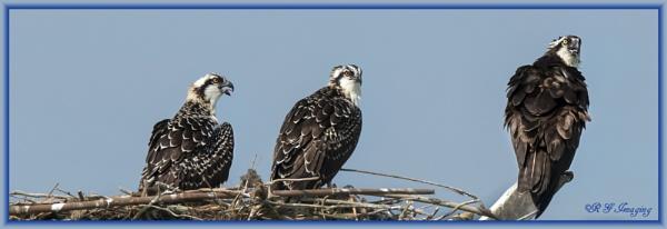 Ospreys by rgg