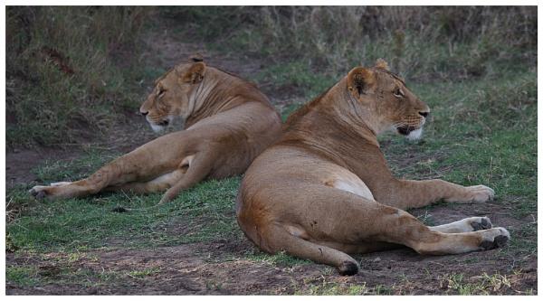 Lions at rest by notsuigeneris
