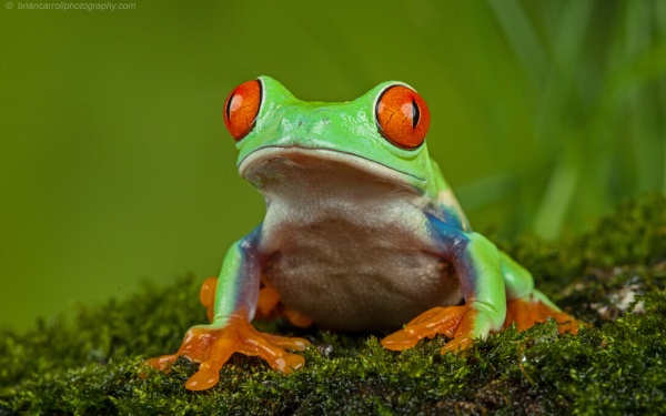 Red Eyed Tree Frog (Agalychnis Callidryas) by brian17302
