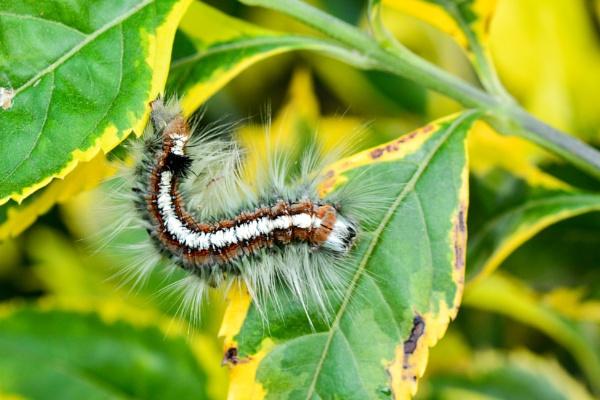 Pacific tent caterpillar by Coen