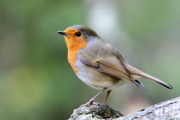 Robin by Philipwatson