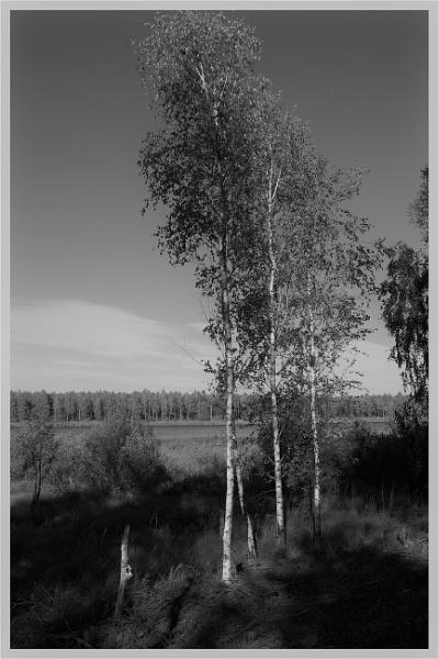 Birches in Mono by PentaxBro