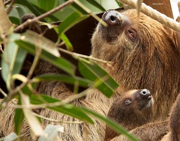 Three toed Sloth by DaveNewbury