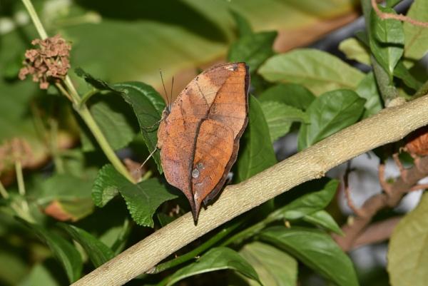 Orange Oakleaf Butterfly by Rogi