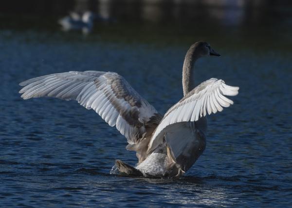 Nearly A Swan by chensuriashi