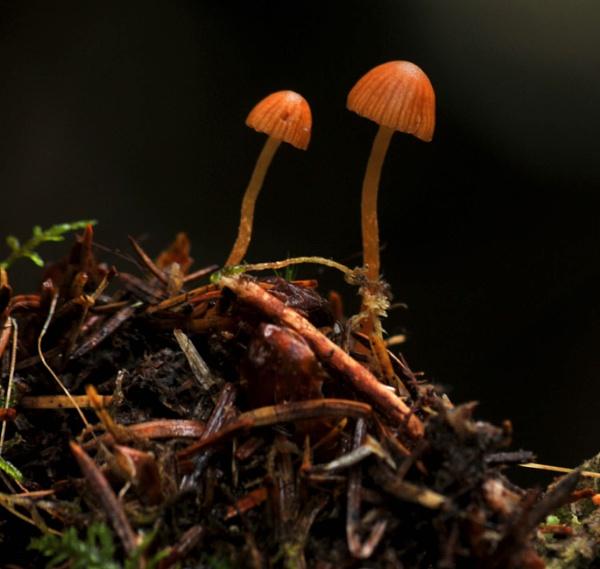 Mycena Mushrooms by viscostatic