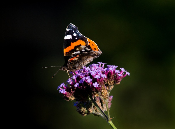 Red Admiral on Verbena by oldgreyheron