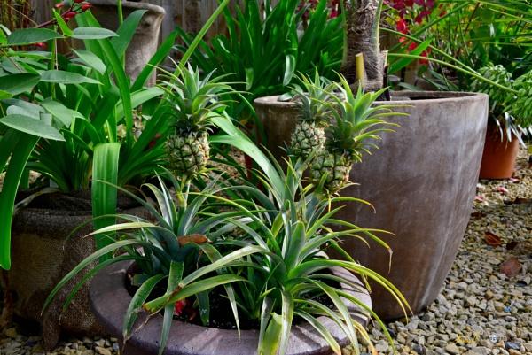 pineapple anyone by jb_127
