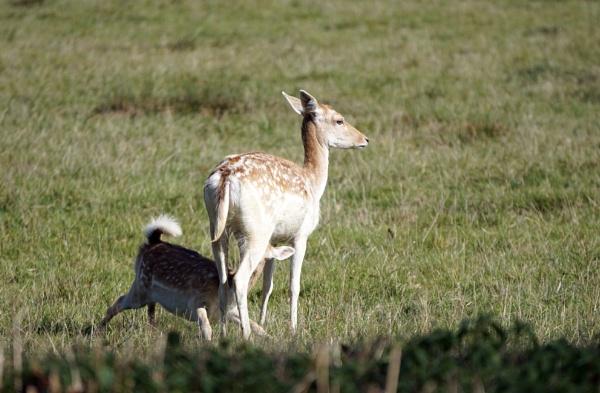 Feeding Fallow Deer Doe by Silverzone