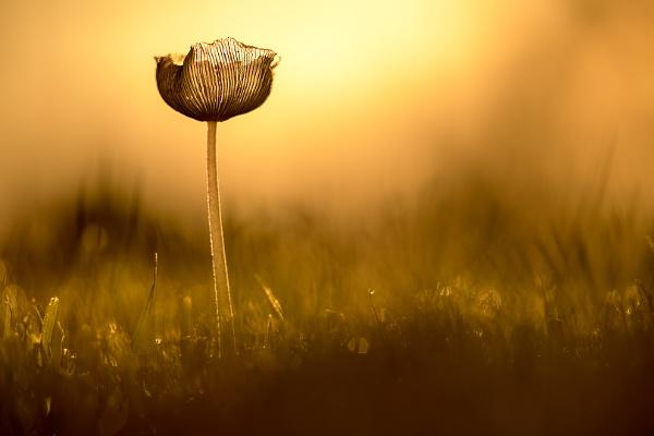 harefoot mushroom by olafo