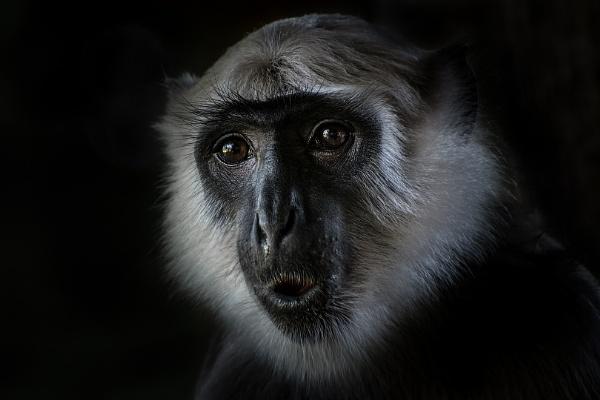 Monkey portrait by olafo