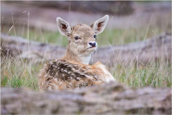 Fallow deer by mjparmy