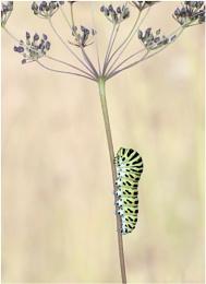 European Swallowtail Caterpillar