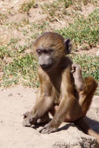 Young Baboon by Alan_Baseley