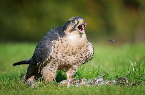 Lanner Falcon by jasonrwl