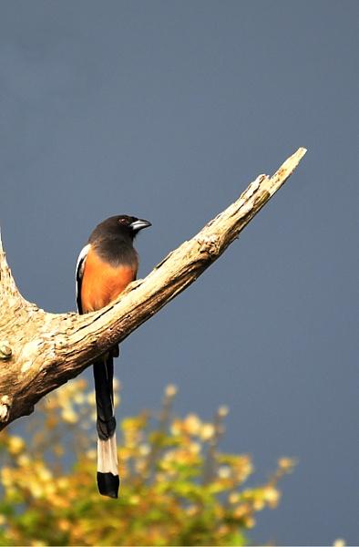 Bird Series - Treepie by swami1969