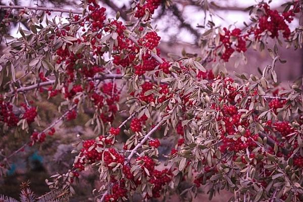 Nanking Cherries