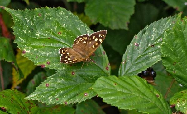Butterfly - Speckled Wood by JuBarney