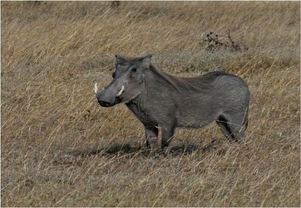 The Noble Warthog by notsuigeneris