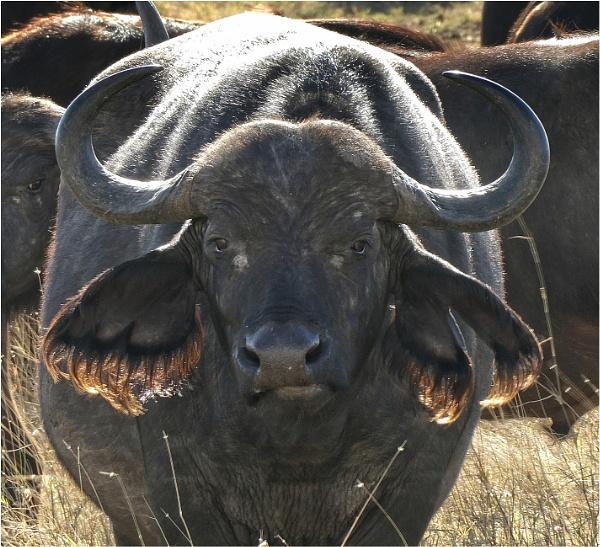 Cape Buffalo by notsuigeneris
