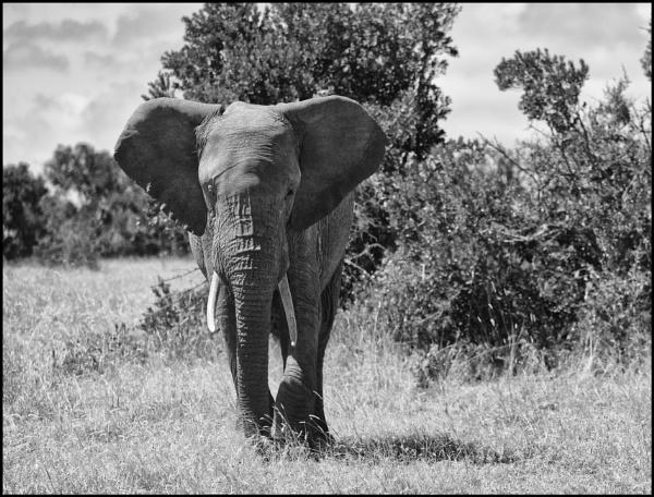 Elephant by notsuigeneris
