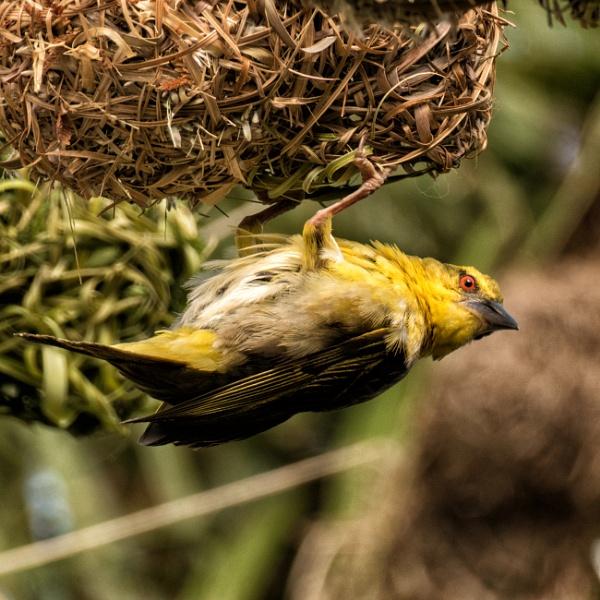 Weaver Bird by vivdy