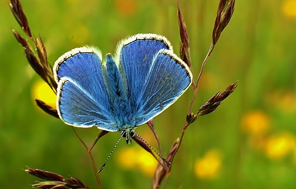 Common blue in the meadow. by georgiepoolie