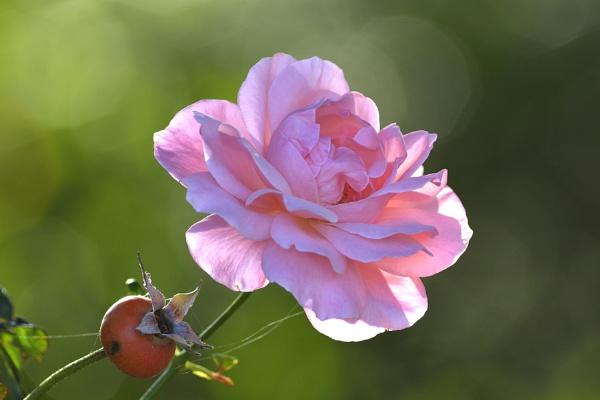 Rose by luminus