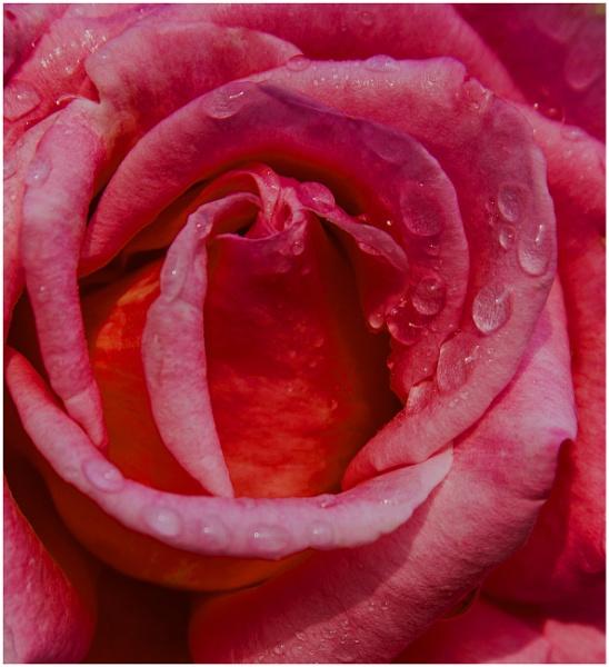 mourning rose... by estonian