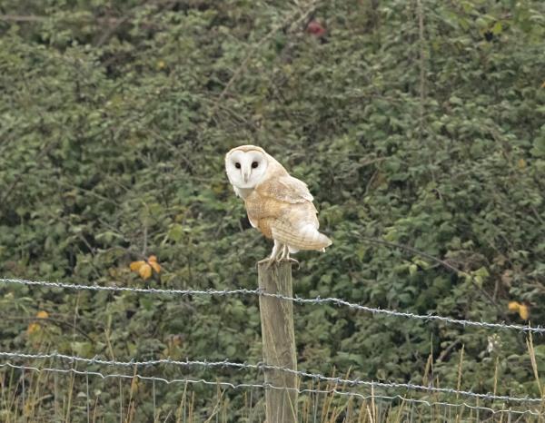 Barn Owl - Watching me Watching you