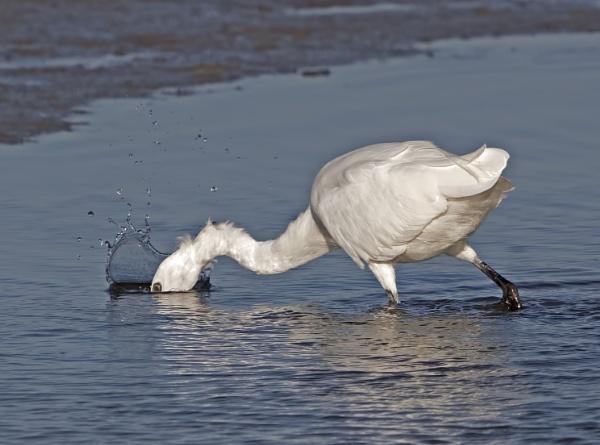 Lttle Egret