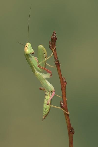 Mantis on twig.