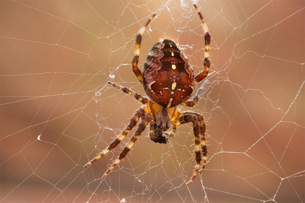 Garden Spider by Les_Cornwell
