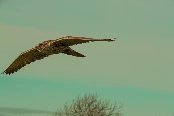 Peregrine Falcon by peterjay80