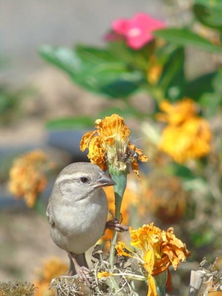 Sparrow by SharjahBirds