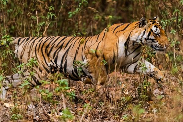 Tiger Attack by Heyneker